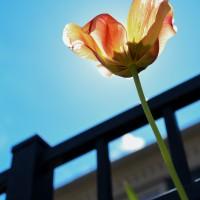 digital photo of a tulip shining in the sun